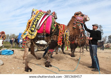 Bodrum, Turkey - February 26, 2012 : Traditional camel wrestling is very popular in Aegean Region of Turkey.Bodrum,Turgutreis is one of this place.Colorfully dressed fancy camels bred for this fight