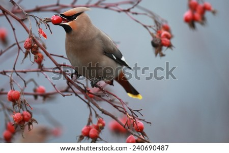 Bohemian Waxwing with a rosehip
