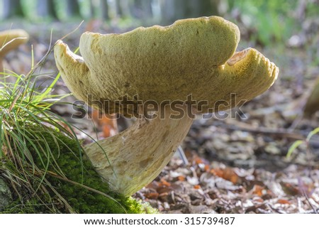Boletis Edulis mushroom in Winterswijk in the Netherlands