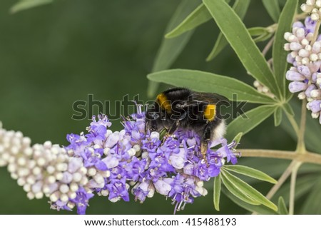 Bombus terrestris, Buff-tailed bumblebee, Large earth bumblebee on Vitex agnus-castus, Chaste tree, Chasteberry