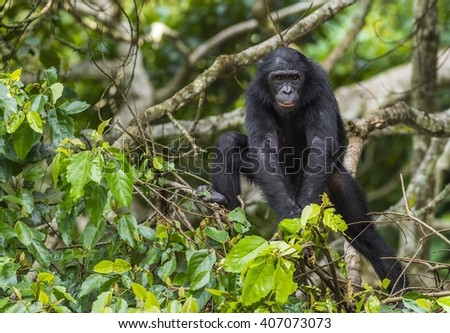 Bonobo (Pan Paniscus) on a tree branch. Green natural jungle background. Democratic Republic of Congo. Africa