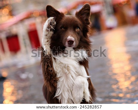 Border collie in the city