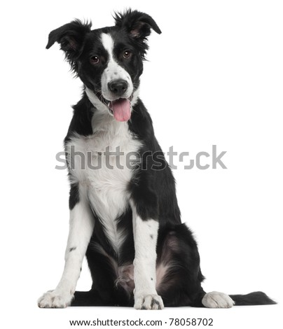 Border Collie puppy, 5 months old, sitting in front of white background
