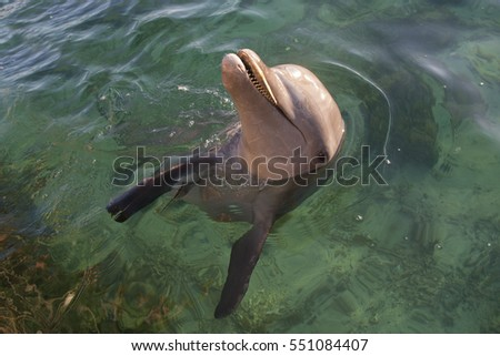 Bottle-nosed Dolphin swimming Bay Island Hondurus