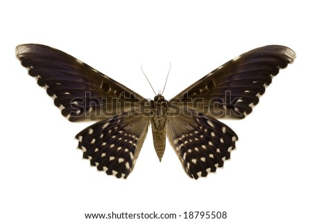 Bottom view of a giant moth isolated on a white background