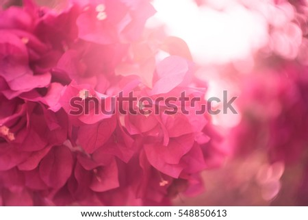 Bougainvillea blooms in the garden, soft focus and sunlight.