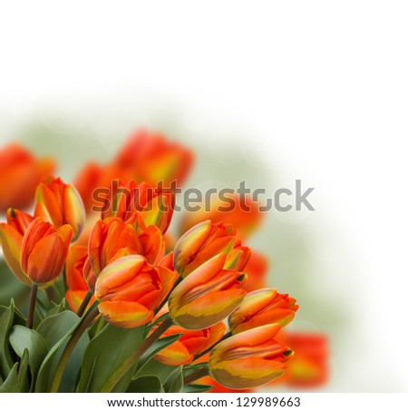 bouquet of fresh tulips isolated on white background