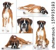 Boxer dog - Collage - stock photo