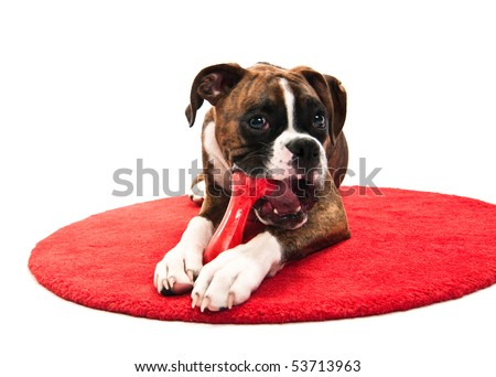 Boxer Puppy Chewing Toy isolated on white studio shot training