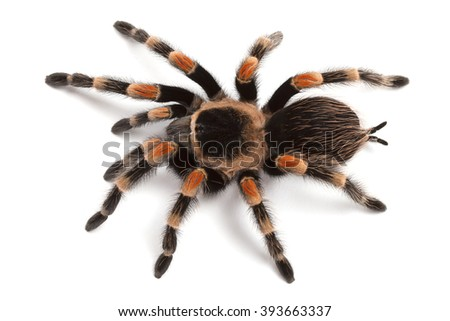 Brachypelma smithi or Mexican redknee tarantula, close up isolated on white background