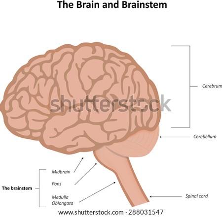 Vascular Dementia Stock Illustration 288031544 - Shutterstock