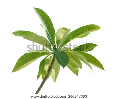 Branch of Plumeria Frangipani leaf  isolated on white background