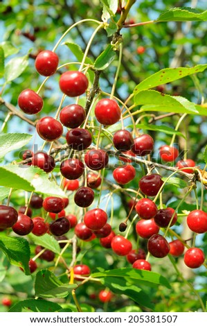 Branch of ripe cherry. Many bright berries.