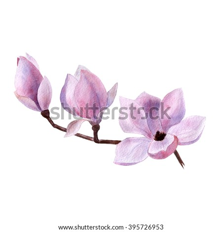 branch pink violet Magnolia spring flower watercolor hand drawn on white