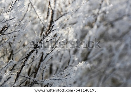 Branches in frost