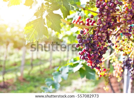 Branches with ripe red grapes.Yellow tone