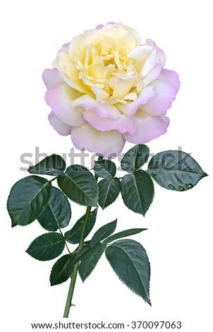 flower darkred rose isolated on white stock photo. Black Bedroom Furniture Sets. Home Design Ideas