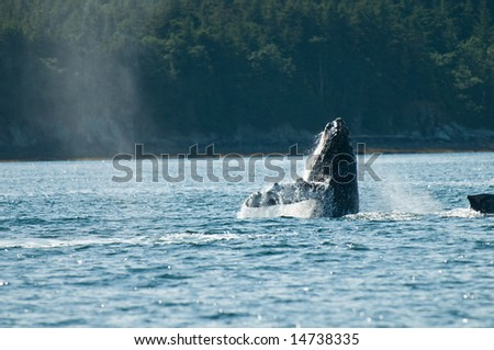 Breaching whales in Alaska.  Near Auk Bay, Juneau.   Sequence 2 of 8.