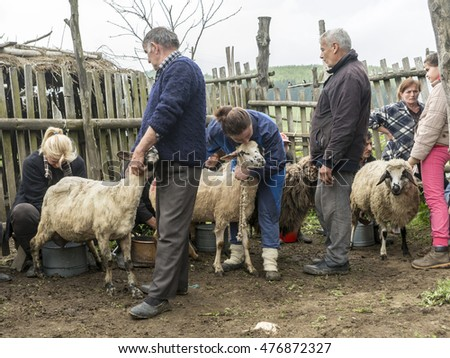 Brezovica, Serbia - May 12, 2016: Milking sheep in Brezovica on the mountain household