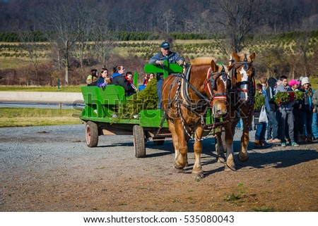 Brickerville, PA, USA - December 5, 2015: Hundreds of families hunted for the perfect Christmas tree using draft horses and a wagon on Elizabeth Farms to find and cut an evergreen.