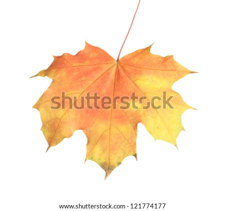 bright autumn maple leaf, isolated on white