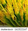 Bright flowers of agave sisalana with several  wasps foraging on the large yellow stamens - stock photo