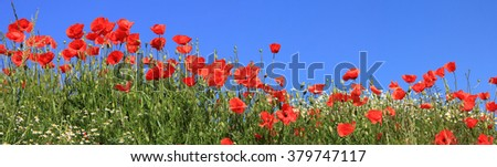 bright red poppies and marguerites full bloom, panoramic size
