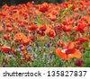 Bright red poppies fields under the sun in Provence, France. - stock photo