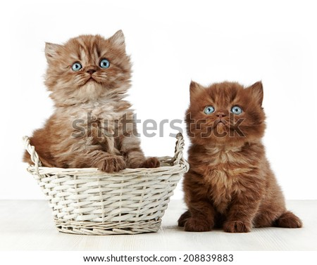 british long hair kittens in a basket