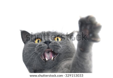 British shorthair cat crazy expression. Also known as British Blue cat - domesticated cat whose features make it a popular breed in cat shows.