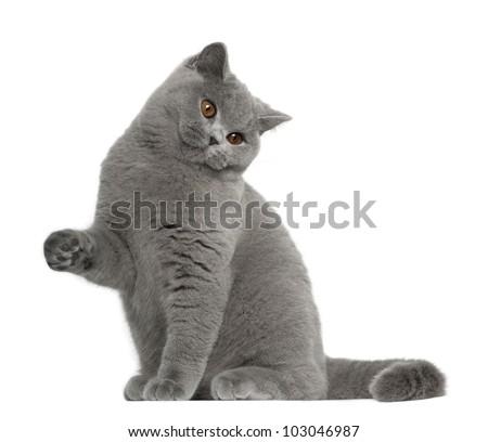 British shorthair kitten 5 months