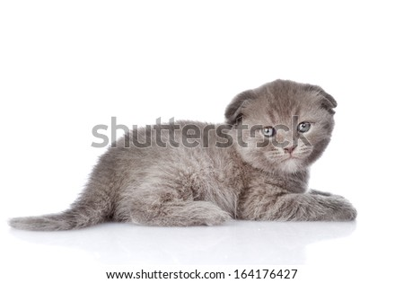 british shorthair kitten looking at camera. isolated on white background