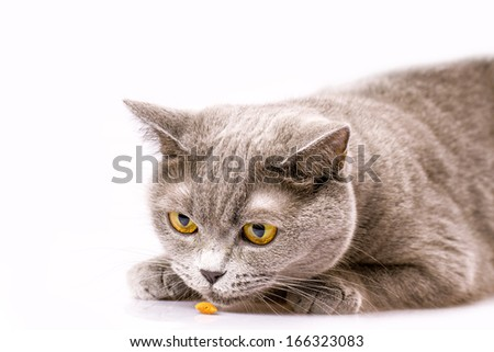 Briton cat on white background