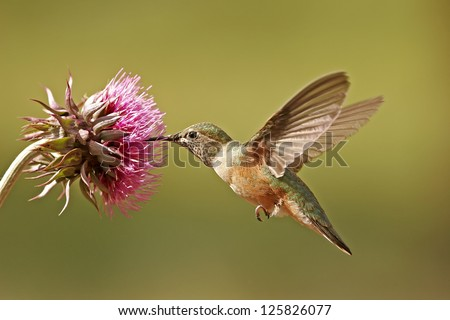 Broad-tailed hummingbird female (Selasphorus platycercus) feeding