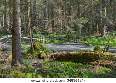 Broken tree roots partly declined inside coniferous stand and broken tree lying,Bialowieza Forest,Poland,Europe