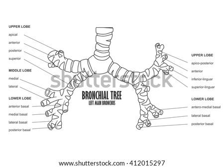 bronchial tree left main bronchus human stock illustration