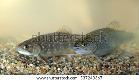 Brook trout, Salvelinus fontinalis und Rainbow trout, Oncorhynchus mykiss