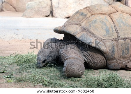 Brown Aldabra Tortoises Eating Grass; close up