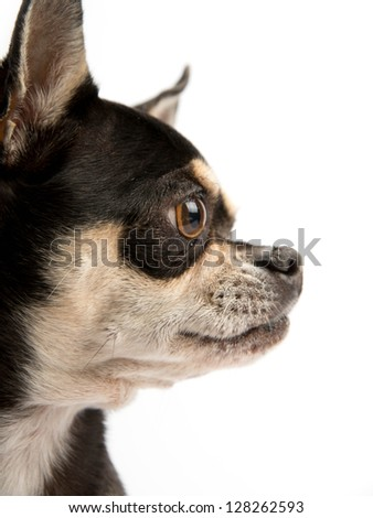 Brown and tan chihuahua close up profile view. Isloated on white background