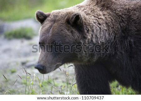 Brown Bear 15
