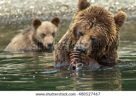 Brown bear does not want to share caught salmon with her cubs. Kurile Lake in Southern Kamchatka Wildlife Refuge in Russia.
