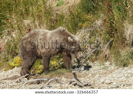 Brown bear eating a salmon