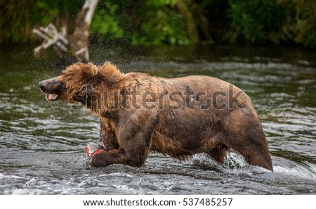 Brown bear eating salmon in the river. USA. Alaska. Katmai National Park. An excellent illustration.