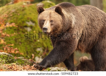 brown bear is walking very close up