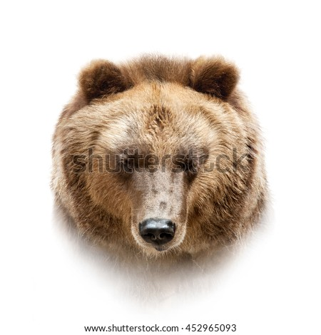 brown bear portrait closeup isolated on white