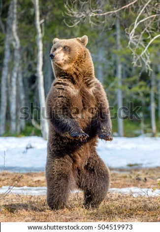 Brown bear (Ursus arctos) standing on his hind legs on a swamp in the spring forest.