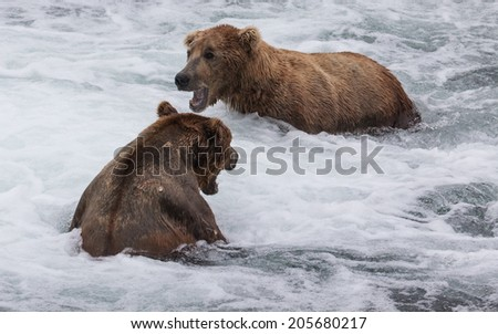 Brown Bears Growling
