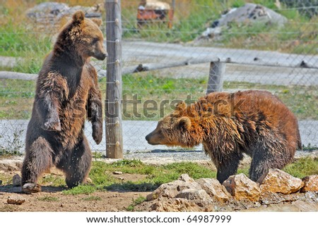 Brown Bears in Croatia