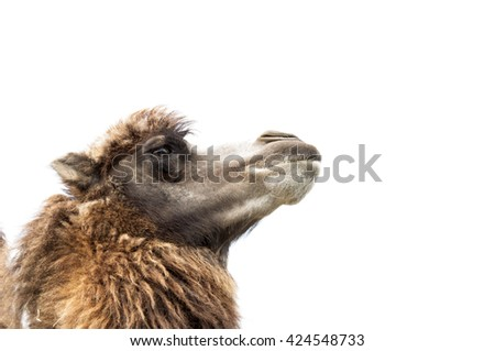 brown camel isolated on white