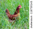 Brown chicken on green grass field - stock photo